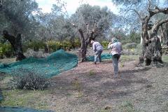 r-raccolta-olive